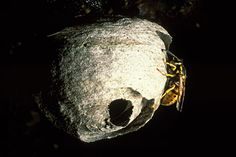 Queen wasp building a nest