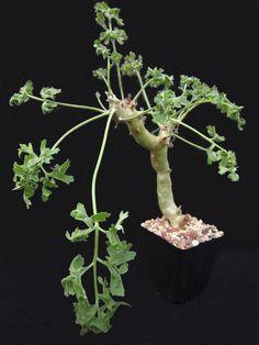 Stunning Pelargonium Divaricatum Plant / Caudex ...