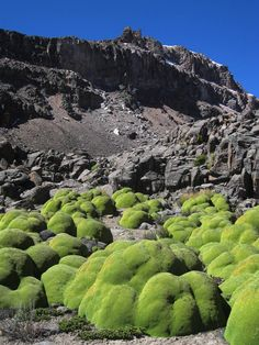 Azorella compacta, Huarancante, Arequipa, Peru