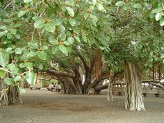 LAHAINA - THE BANYAN TREE HAS BECOME THE LARGEST BANYAN TREE  IN HAWAII & ONE OF THE LARGEST IN THE U.S.  IT'S EXTENSIVE TRUNK & AERIAL ROOT SYSTEM NOW COVERS  0.66 ACRES. Maui Hawaii, Oahu, Hawaiian Islands, Lanai, Archipelago, Beautiful Islands, Pacific Ocean, Acre, Root System