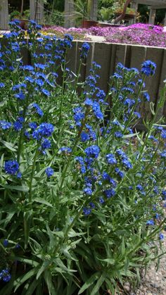 Cape forget-me-not (Anchusa capensis) Very hardy perennial for Colorado