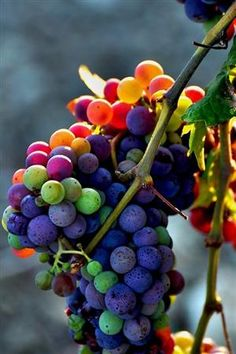 beautiful grapes
