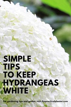 If you're looking to keep your hydrangeas white, it all comes down to proper care. In this guide, pick up a few tips for growing hydrangeas as healthy as possible. White Hydrangea Garden, Hydrangea Bloom, Hydrangea Care, Pink Hydrangea, Hydrangea Quercifolia, Types Of Hydrangeas, Peonies And Hydrangeas, Hydrangea Landscaping, Landscaping Plants