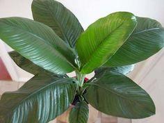 Spathyphyllum Sensation