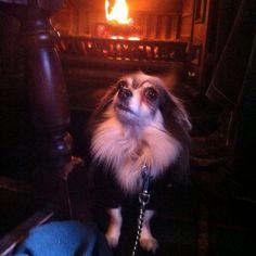 Tia wearing her Juicy Couture to keep her extra snug  #chihuahua #pocketdog #cutedog #dogclothes #dogcollars #pugs #pomeranians #teacupdogs #chihuahuas #fashion #puppy #dogfashion #dogapparel #divadog #bikerdog #dogstagram #doglovers #dogsofinstagram #doglove  by pocketdogshop  http://bit.ly/teacupdogshq