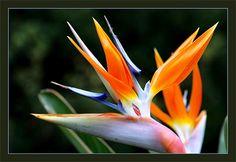 Стрелиция королевская (Райский цветок)