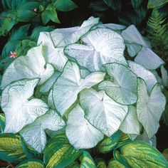 Caladium 'Moonlight'. Plant care tips: https://www.houseplant411.com/houseplant/caladium-how-to-grow-care