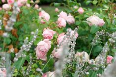 Eine seit Jahren beliebte Beetbepflanzung ist die von Rosen mit Lavendel. Auch wenn es nicht die natürlichste Kombination ist, weil Rosen lieber frischen...