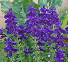 Salvia horminium (Salvia viridis): This is a great plant with purple, pink or white bracts. Like a poinsettia, it's the top leaves that provide the show, not the flowers. Salvia horminium looks good right through late fall.