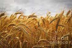 Wheat by Elena Elisseeva