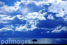 An Acacia tree sits against a bright blue sky in the Masai Mara.