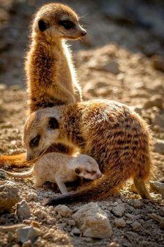 I ❤ meerkats