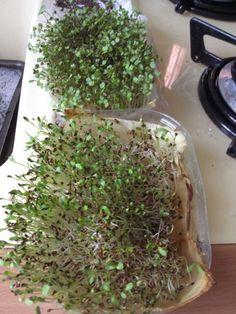 Cressonnette-maison pour graines mucilagineuses. Quelques barquettes en plastique récupérées d'un emballage de fruits ou légumes sont une option simple et peu onéreuse. On place au fond un papier essuie-tout humide et on le tapisse de graines. Pour germer les graines absorbent énormément d'eau. Les premiers jours, il faut les arroser très régulièrement, deux fois en 24 heures dans la plupart des cas. Lorsqu'elles commencent à germer, une fois suffit.