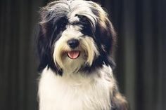 Tibetan terrier sitting on blanket - Ian Logan/Photographer's Choice/Getty Images