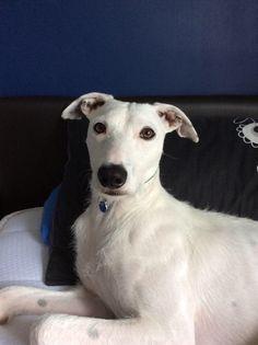 Harley ( Sisters Dog ) Lurcher | Pawshake Stroud