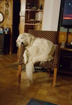 Echo picks the smallest chair. Pyrenees Puppies, Dogs And Puppies, Doggies, Beautiful Dogs, Animals Beautiful, I Love Dogs, Cute Dogs, Maremma Sheepdog, English Golden Retrievers