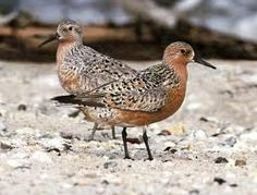 A pair of 'Red Knots'. Shore birds with a cool name. Not so good in your yarn, but a great bird name nonetheless!