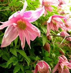 Markham's Pink Clematis