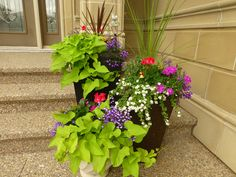 Front yard pots with sweet potato vines 2014