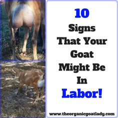 You have baby goats on the way! How do you know when your goat's due date should be?! What are the signs that your goat might be in labor?! Here are 10...
