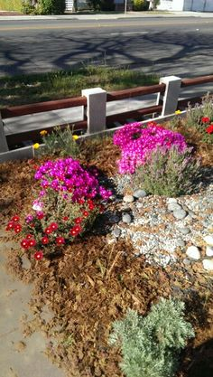 Ice plants blooming!