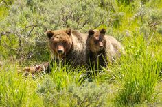 ChicagoBob46 posted a photo:  A Grizzly Bear sow sharing an Elk calf with one of her two yearling cubs.