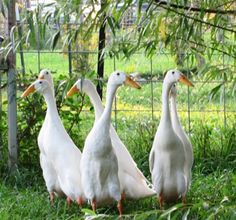 Elegant Indian Runner Ducks..perfect for pest and weed control in your garden. Very entertaining pets too!