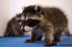 Little raccoon  #raccoon   #babyraccoon   #cuteraccoon   #sweetraccoon   #littleraccoon  #cutebabyraccoon #babyanimals   #cuteanimals   #sweetanimals  #littleanimals