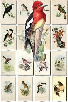BIRDS-216 Collection of 242 vintage pictures Buzzard Falcon Bulbul Bushshrike Malimbe Blue Tit Barbet digital download printable images           data-share-from=listing        >           <span class=etsy-icon