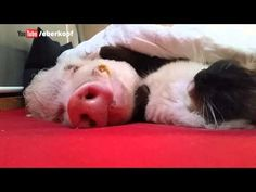 A cat gently stroking his pig buddy to sleep is oddly soothing (Video) : theCHIVE