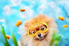As far as pet photography goes, it doesn't get much cuter than this. Flint is a happy-go-lucky Pomeranian that's just as sweet and good-natured as he first