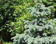 Picea pungens ´Glauca´ + Liriodendron tulipifera