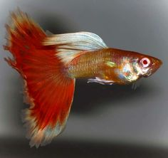 An oddball male red eyed Guppy with a contrasting dorsal. Guppy, Beautiful Tropical Fish, Beautiful Fish, Oscar Fish, Otters Cute, Cute Fish, Freshwater Aquarium Fish, Colorful Fish, Underwater World