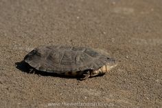 Terrapin, smelly but cute! This one was waiting for more rain at Hluhluwe-Imfolozi Game Reserve