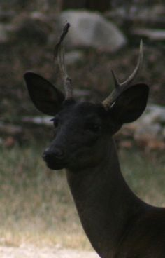 """This is a """"melanistic"""" Black deer. the oposite of the albino cerf noir """"mélanique"""". Rare Animals, Animals And Pets, Strange Animals, Beautiful Creatures, Animals Beautiful, Melanistic Animals, Black Deer, Black White, Black Mamba"""