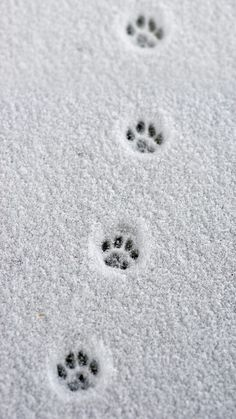 Little paw prints in the snow.