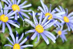 Flower Background (Felicia Amelloides) Royalty Free Stock Photo