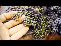 Elderberries by Sergei Boutenko - a great video for autumn.