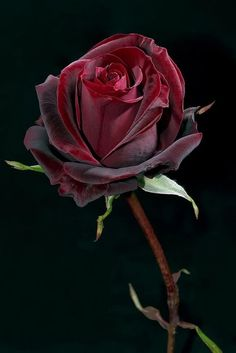 Midnight Garden here A Beautiful Rose For a You Ashlyn Nicole Howard Bellah ! You'll Always Be My Beautiful Blue Texas Rose! Beautiful Rose Flowers, Amazing Flowers, Beautiful Flowers, Coming Up Roses, Flower Power, Red Roses, Planting Flowers, Flower Arrangements, Floral