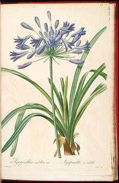 gravures de fleurs liliacees - gravures de fleurs liliacees - 70258 agapanthus umbellatus - agapanthe en ombelle - Gravures, illustrations, dessins, images