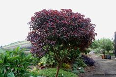 Euphorbia cotinifolia Coppery, almost burgundy round leaves on reddish purple twigs. Makes for a striking small tree in the landscape. It is certainly most attractive as a multi-trunk or low branching specimen. Full sun, and very water-wise when established.