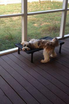 Lazy Tibetan Terrier