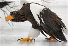 stellar eagle - Russia