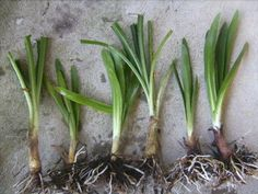 20 x agapanthus bulbs either blue or white no guarntee on colours, Plants