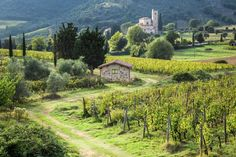 A country road leads to the monastery through the Italian vineyards in Montalcino, Tuscany.