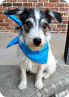 Jack Russell Terrier Dog for adoption in Austin, Texas - Baxter in Corsicana