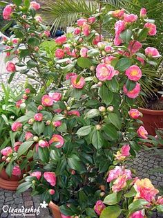 Kamelien, Camellia japonica, williamsii, reticulata, sasanqua