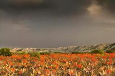 Namakwaland flowers RSA