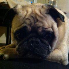 cute <3 #pug #furbaby