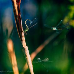 #dragonfly #conception #luring #seduction Conception, Photo S, Art Prints, Gallery, Day, Art Impressions, Roof Rack